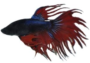 Fischkatalog for Kampffische arten